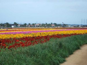 This is a photo of the ranunculus growing in rows at The Flower Fields in Carlsbad, CA.