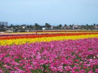 This is a photo of the pink and yellow ranunculus of The Flower Fields in Carlsbad, CA.