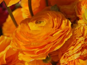 This is a photo of a golden ranunculus.