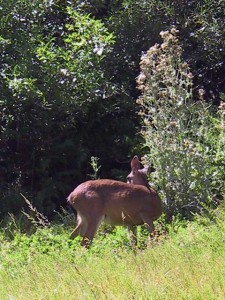 This is a photo of a deer listening to sounds before eating some leaves near the spring north of Chester in Plumas County, CA.