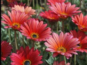 This is a photo of red Gazanias.