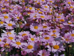 This is a photo of miniature lavender daisy plants.