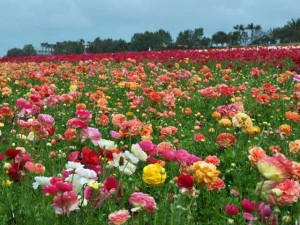 This is a photo of a row of multicolored ranunculus next to a row of red ranunculus at the Flower Fields in Carlsbad, CA.