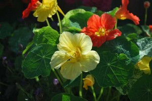 This is a photo of yellow and orange Nasturtiums.