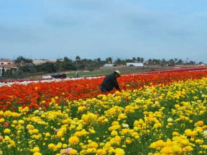 This is a photo of a man working in The FlowerFFields of Carlsbad, CA. He is positioned between two very large grower beds of yellow and orange flowers.
