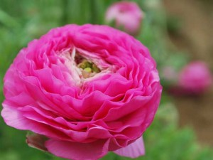 This is a photo of a pink ranunculus at the Flower Fields in Carlsbad, CA.