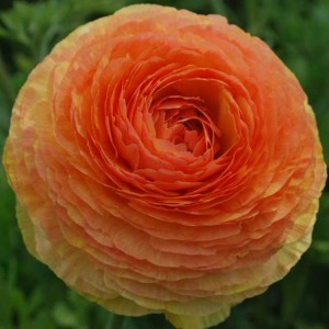 This is a photo of a peach ranunculus at the Flower Fields in Carlsbad, CA.
