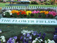 "This is a photo of a sign on the ground in a flower bed announcing that you are in ""The Flower Fields"" of Carlsbad, CA."
