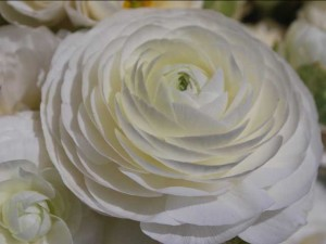 This is a photo of a white ranunculus at the Flower Fields in Carlsbad, CA.