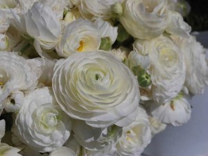 This is a photo of a bouquet of white ranunculus at the Flower Fields in Carlsbad, CA.