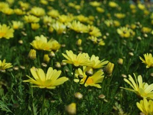 This is a photo of miniature, yellow daisy plants.