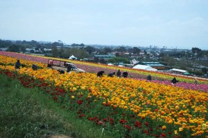 This is a photo of workers and a truck in The Flower Fields in Carlsbad, CA.