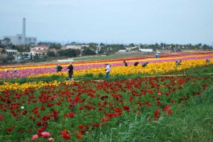 This is a photo of workers and tourists in The Flower Fields in Carlsbad, CA.