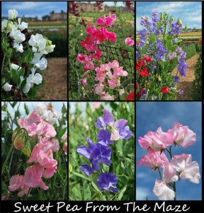 This is a photo collage of some Sweet Pea flowers taken at The Flower Fields in Carlsbad, CA.