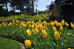 This is a photo of yellow Tulips in Golden Gate Park, SF, CA.