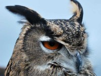 This is the head of an eagle owl.