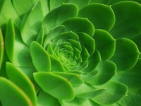 This is a photo of a green Succulent plant.