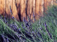 This is a photo of lavender in a garden.